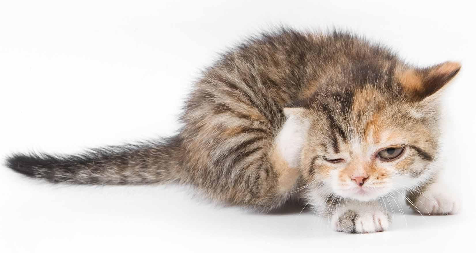 У животных блохи могут вызвать гельминтоз и различные инфекционные заболевания