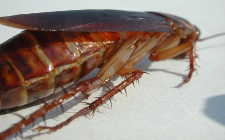 У самок мексиканского таракана между придатками иголки отсутствуют, у самцов они есть