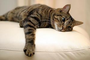 Как избавиться от блох у кота в домашних условиях народными средствами