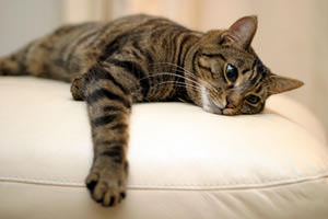 Блохи влияют негативно на самочувствие кошки