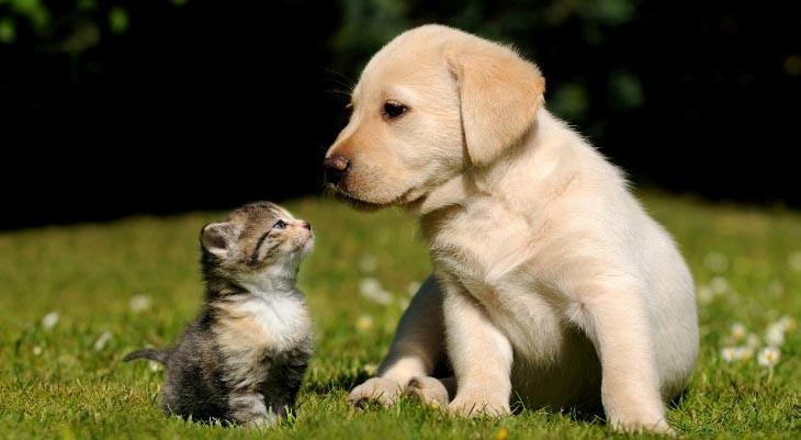 Блохи у кошек столь же частое явление, что и у собак