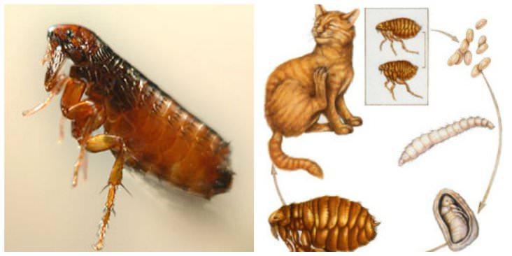 В длину кошачья блоха достигает нескольких миллиметров и имеет вытянутое тело без крыльев и длинные ноги