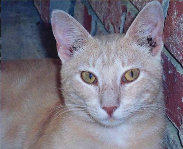 Ушной клещ часто встречается у кота – подцепить его он может на прогулке или от других питомцев, живущих в доме, а вывести его бывает очень непросто