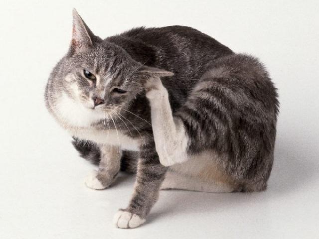 Если клещ поселяется на коже и шерсти животного, то оно начинает страдать от зуда, теряя вес, шерсть и аппетит