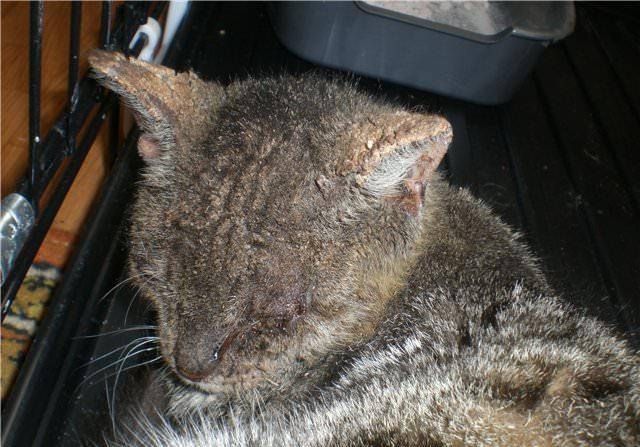 Если вовремя не вывести ушного клеща у кота, есть риск того, что паразит забьет продуктами жизнедеятельности ушной канал животного