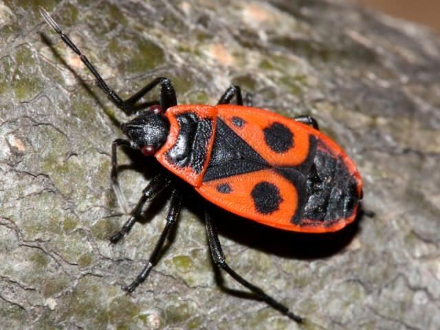 Многие недооценивают опасность клопа солдатика, эти насекомые в больших колониях могут нанести значительный вред садово-огородным культурам. Необходимо помнить, что больший ущерб приносят не сами клопы, а их личинки и принимать меры для предупреждения их появления на участке