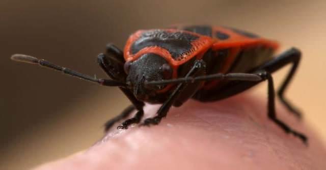Особенно этих жуков недолюбливают садоводы, которые разводят элитные сорта винограда