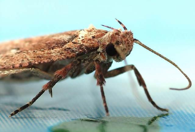Моль – это бабочка, но серая, неприметная и обитающая в наших квартирах