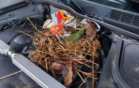 Крысы под капотом транспортного средства не являются редкостью
