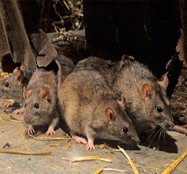 Уничтожение мышей и крыс можно осуществлять при помощи средств химического происхождения