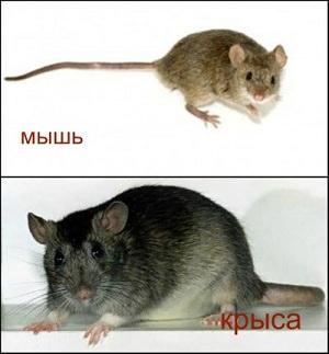 Вопрос о том, чем отличается мышь от крысы, интересует многих людей