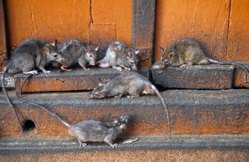 Мышь и крыса являются полноправными представителями отряда грызунов