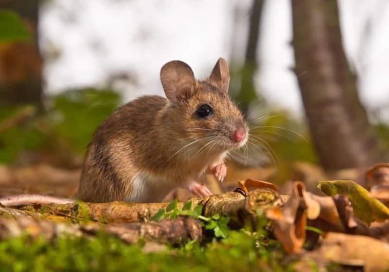 В отличие от крыс, мыши вегетарианцы