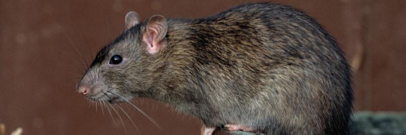 Крысы - звери не только большие и сильные