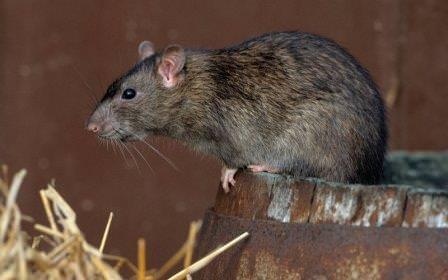 Знать, как выглядит крыса, нужно всем