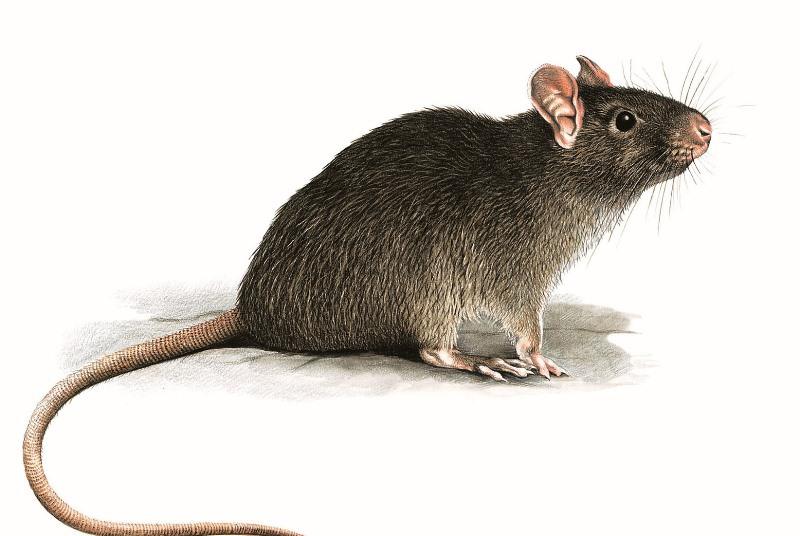 Своевременно обнаружив крысу, можно предпринять эффективные меры по борьбе с ними, что поможет избежать негативных последствий совместного проживания