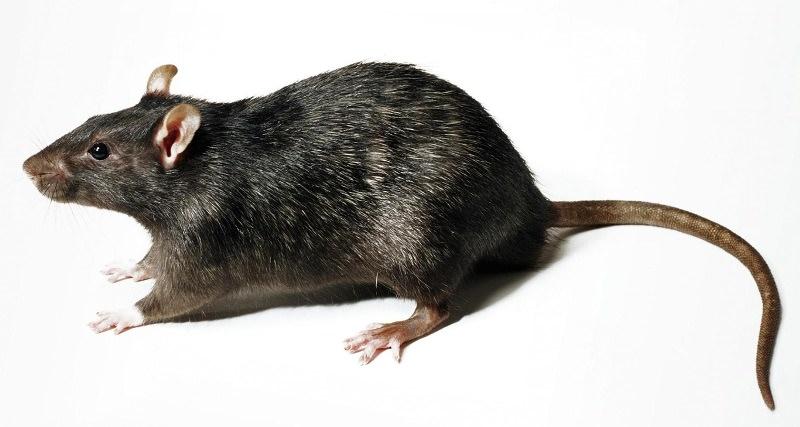 Крысы относятся к классу млекопитающих, точнее, к отряду грызунов и семейству мышей