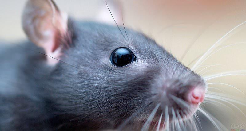 Крыса - это самый большой грызун из семейства мышей