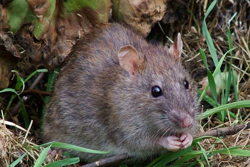 В условиях проживания в естественной среде, то есть на природе, крысы применяют резцы, чтобы перегрызть различные корни, ветки и растения