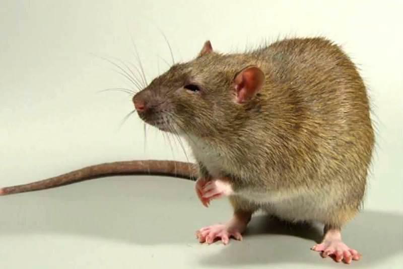 Существуют разные разновидности крыс
