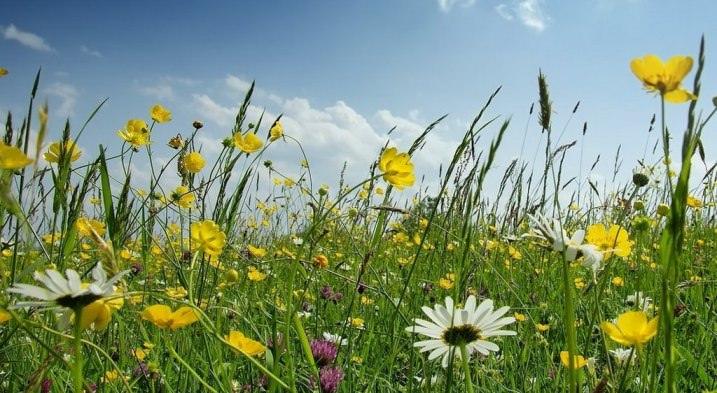 В качестве лекарственных экстрактов шампуня «Луговой» используются полевые цветы