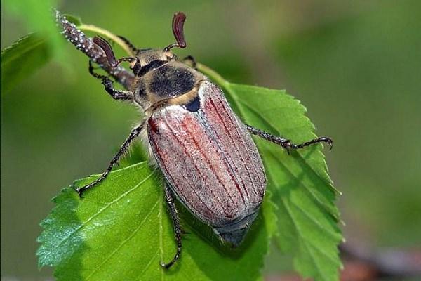 Майский жук (фото № 1)