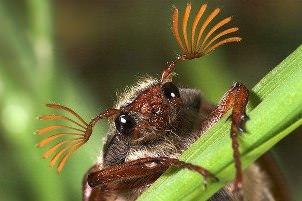 Майский жук может причинить немалый вред