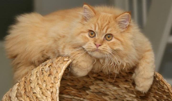 Шампуни более эффективны для лечения пород кошек с густой или длинной шерстью
