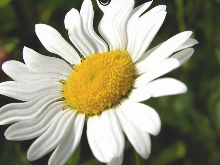 Яд пиретрум – основа противоблошиных лечебных шампуней, которая содержится в персидской ромашке