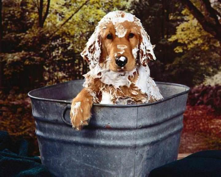 Для избавления от блох животных надо хорошо намылить пеной дегтярного мыла кожу и шерсть