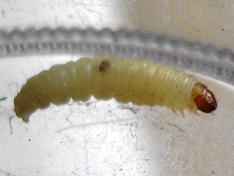 Именно личинки наносят непоправимый вред кухонным припасам