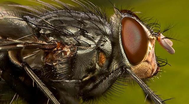 Муха всегда живет вблизи человека. Пищей для нее становятся разлагающиеся продукты животного или растительного происхождения