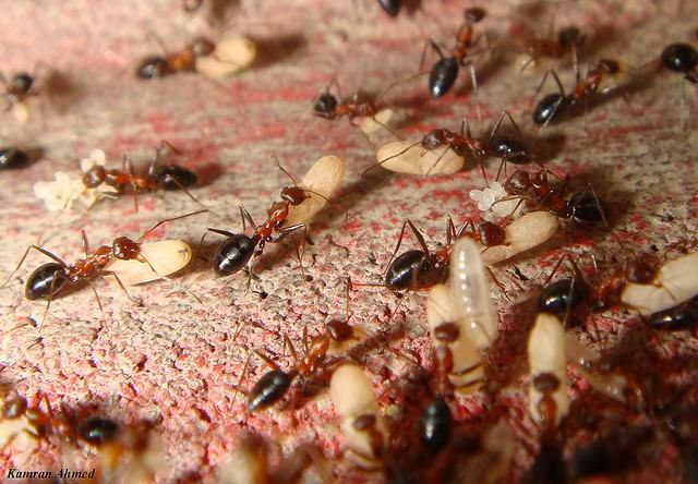 Муравьи появляются тогда, когда для них есть еда. В дом муравьи забираются в поисках пищи, и если она находится, то они поселяются в новом жилище