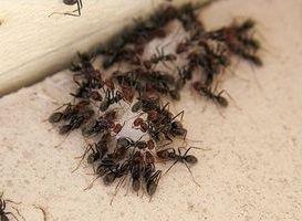 Эффективность борной кислоты от муравьев в доме