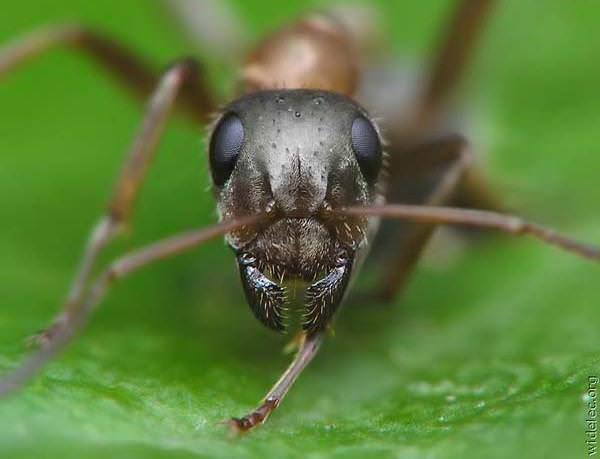 Борная кислота от муравьев: рецепт приготовления, особенности применения, отзывы