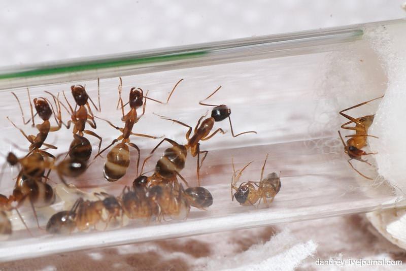 При борьбе с муравьями надо учитывать, что обитают они в основном на кухне. Поэтому перед химической обработкой все продукты должны быть герметично упакованы и убраны