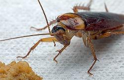 Тараканы относятся к наиболее неприятным бытовым насекомым-вредителям