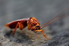 Есть такие виды тараканов, которые считаются экзотикой и разводятся человеком