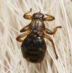 Оленьи кровососки – мухи-паразиты, обитающие на теле хозяина