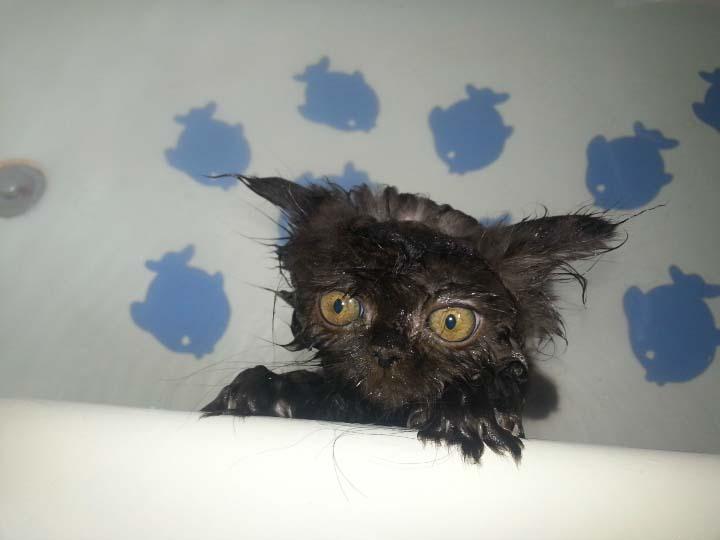 Вычесывание и купание – лучшее средство для выведения блох у котят
