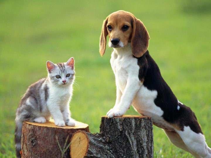 Кошки могут заразиться блохами от других домашних животных