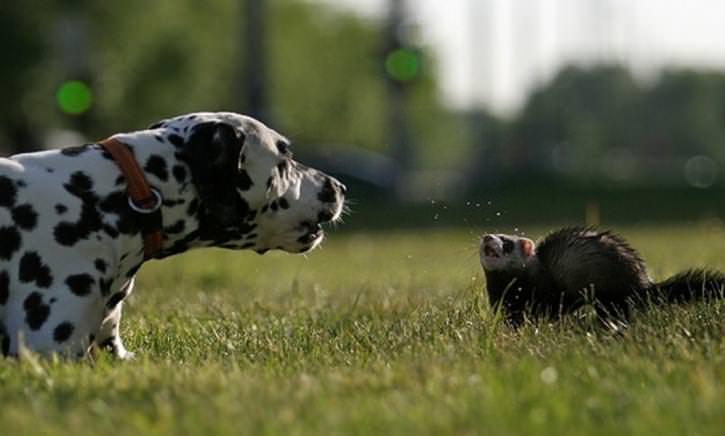 Помимо способа заражения от уже инфицированных эктопаразитами животных, хорьки могут получить блох из внешней среды