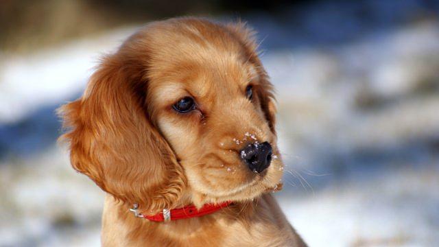 Перед тем как одеть изделие собаку надо вымыть противоблошинным шампунем
