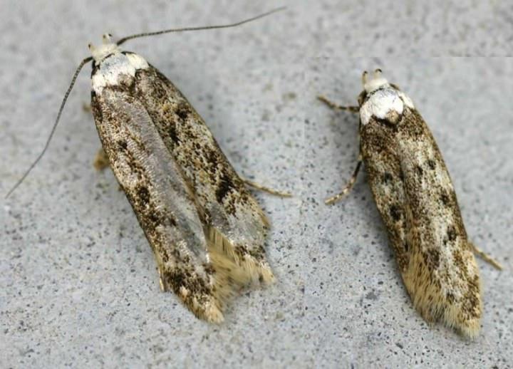 Все моли имеют вид достаточно маленьких бабочек, которые не отличаются яркой окраской и какими-либо заметными внешними особенностями