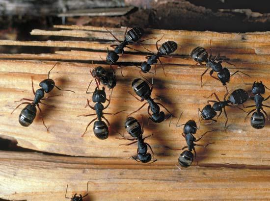 Чем травить муравьев в квартире