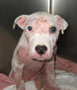 Выявление подкожного клеща у собак должно быть своевременным, чтобы предотвратить более тяжелые последствия заболевания