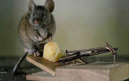 Перед тем как поймать крысу в домашних условиях собственными силами, рекомендуется быть уверенным в своих возможностях
