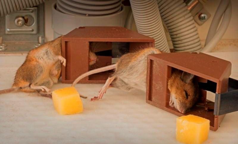 Если завелись мыши или крысы, то для того, чтобы их поймать, можно приобрести уже готовую крысоловку или мышеловку