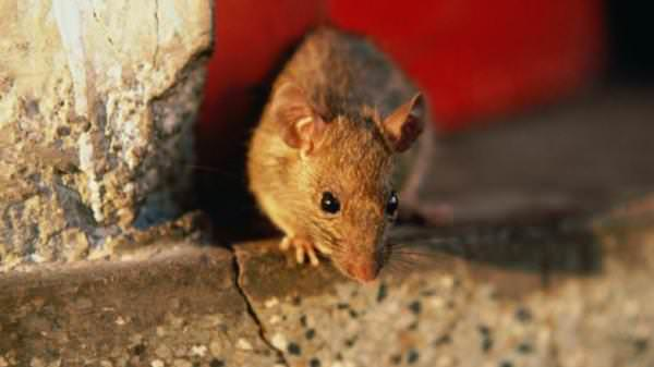 Несмотря на то что крысы питаются отходами и являются переносчиками различных болезней, они достаточно чистоплотны