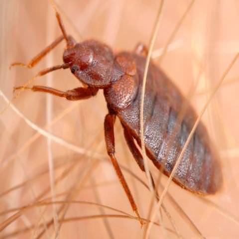 Постельный клоп относится к роду Cimex lectularius и питается кровью теплокровных животных